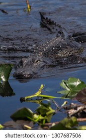 Alligator swimming the muddy waters of the swamps in the Everglades National park