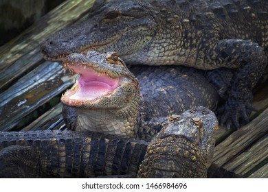 Alligator threatens open jaw and is ready to attack the enemy. Crocodiles dangerous animals. Alligator with mouth open. Alligator close up portrait. Alligators farm lots of aligators angry background.