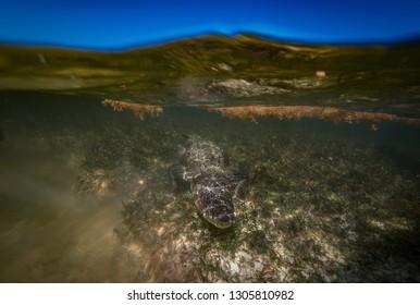 Alligator underwater Saltwater crocodile hiding at bottom in sea water frontal view splitted by waterline