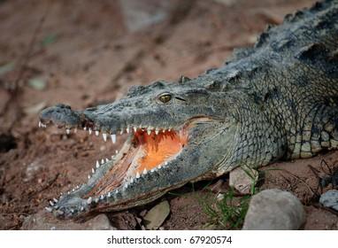 Alligator waiting for food.