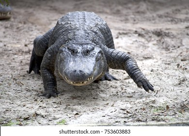 alligator walking facing forward