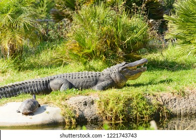 Alligators (alligator mississippiensis)  by a pool