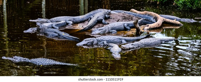 Alligators basking in the sun together on an island in an alligator farm in St Augustine, Florida.
