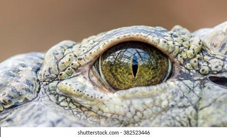 Alligators Eye (macro)