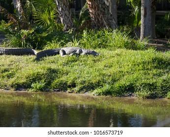 Alligators in the Grass