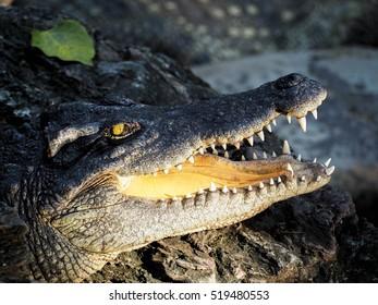 Alligator's jaw, crocodile farm.