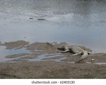 Alligators at Paynes Prairie Florida