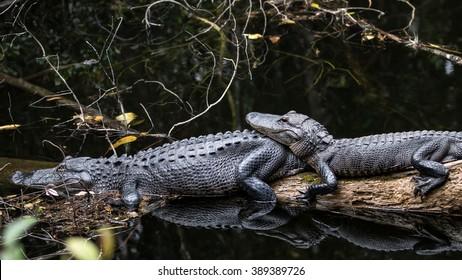 Alligators Resting, Big Cypress, Florida