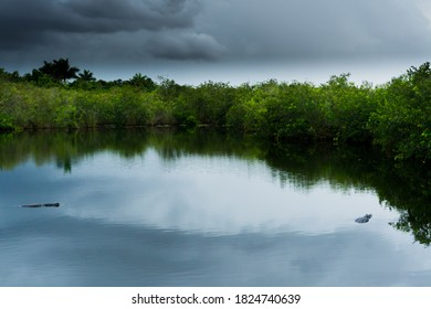 Alligators In Water at Everglades National Park