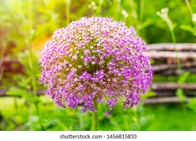 Allium blooming. Ball of blossoming allium flowers. Beautiful alliums for gardening theme. Violet bloom gorgeous flower. close up