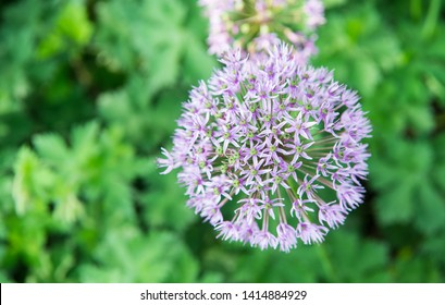 Allium blooming close up. Ball of blossoming allium flowers. Beautiful alliums for gardening theme. Botany concept. Violet bloom gorgeous flower. Gardening and planting plants.