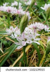 Allium Camelion White Flower