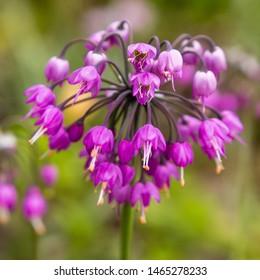 Allium cernuum in garden. The blooming unusual allium flower in the garden. Purple flowers of allium cernuum.