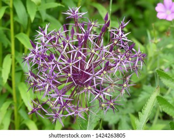 Allium cristophii, common name Persian onion or Star of Persia. A species of onion native to Turkey, Iran, and Turkmenistan, though grown as an ornamental bulbous plant in many parts of the world.