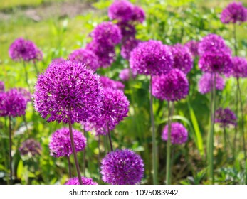 Allium Flower (Ambassador)