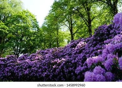 Allium flower garden in Sweden , Borås