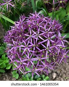 Allium Flower Head Purple Spikey