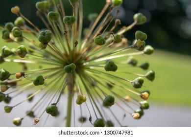 Allium Flower Seeds
