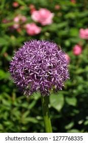 Allium flowers. Close up of an Allium Gigantium Flower Head in garden.
