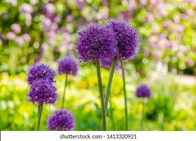 Allium Flowers (Allium Giganteum) in spring garden, Growing bulbs in the garden.