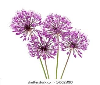 allium flowers iaolated on white