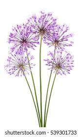 Allium flowers isolated on white background
