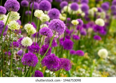 Allium or Giant onion is a beautiful flowering garden plant with small globes of intense white and purple umbels at Springtime. Colorful flower background in a Park in Germany, close up