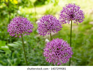 Allium Giganteum blooming. Few balls of blossoming Allium flowers. Beautiful picture with Alliums for the gardening theme.