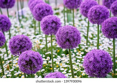 Allium giganteum, common name giant onion, is an Asian species of onion, native to central and southwestern Asia but cultivated in many countries as a flowering garden plant.