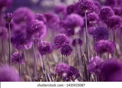 Allium giganteum, decorative onion with large purple flower heads