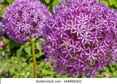 Allium giganteum. Giant onione. Plantae, Angiosperms, Monocots, Asparagales, Amaryllidaceae, Allioideae, Allium. Spring, summer blooming. Large wonderful spherical purple flowers.