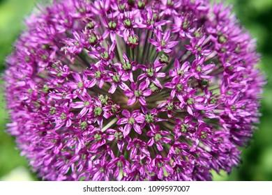 Allium Giganteum Purple