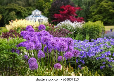 "Allium ""Globemaster"" in the Botanical Gardens in Gothenburg, Sweden"