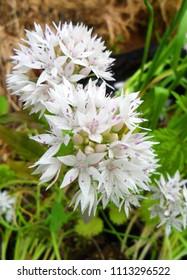 Allium Gracefull White flower