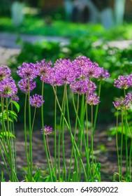 Allium hollandicum 'Purple Sensation' (Dutch Garlic or Persian Onion) in a flowerbed. Blooming Allium. Allium, giant onion, Giganteum in full flower growing in the garden.