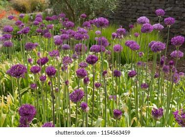 Allium hollandicum 'Purple Sensation' (Persian Onion or Dutch Garlic) in a Country Cottage Garden in Rural Devon, England, UK
