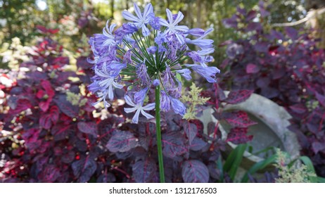 Allium is also known as flowering onion