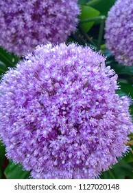 Allium (Latin for garlic), of the monocotyledonous genus that includes flowering plants such as the onion, garlic, scallion, shallot, leek, and chives.