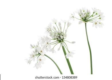 Allium neapolitanum isolated on white background