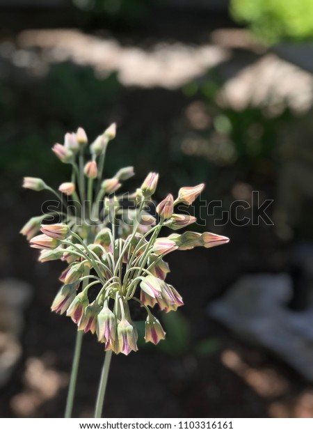 Allium nectaroscordum flowers