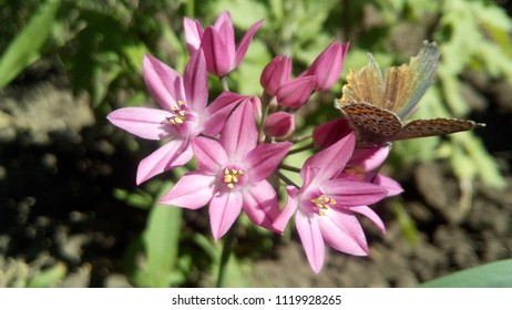 ALLIUM OREOPHILUM. A flower with a butterfly, an unexpected moment.