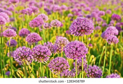A lot of Allium purple field.