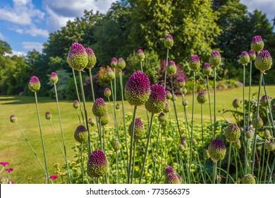 Allium purple tops blooming in Irish garden
