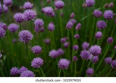 Allium schoenoprasum. Decorative bow. Perennial herbaceous plant. Beautiful flower abstract background of nature. Selective focus. Horizontal orientation.