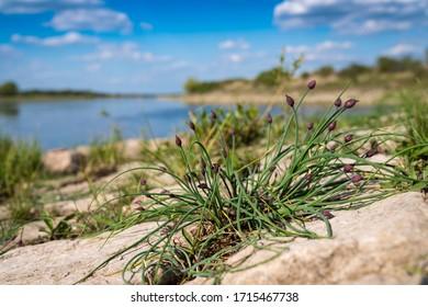 Allium schoenoprasum at the riverside of the river elbe