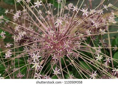 Purple spiky flower images stock photos vectors shutterstock allium shubertii large purple spiky flowers mightylinksfo