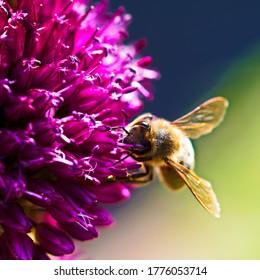 Allium sphaerocephalon with a honey bee