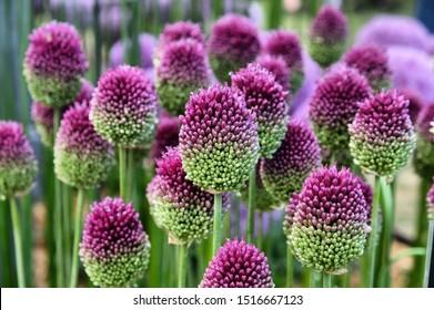 Allium sphaerocephalon 'round headed garlic' in flower