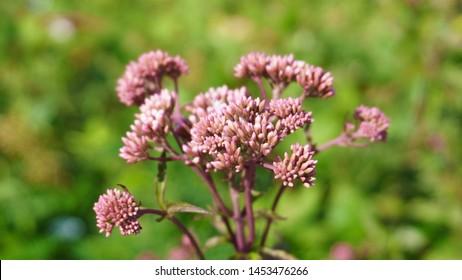 Allium Sphaerocephalon. They are usually red-purple. Amaryllidaceae family.
