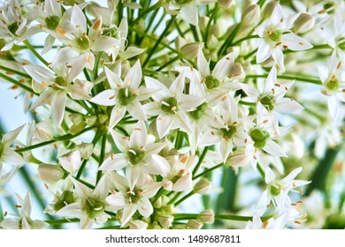 Allium tuberosum flowers on a white background close-up